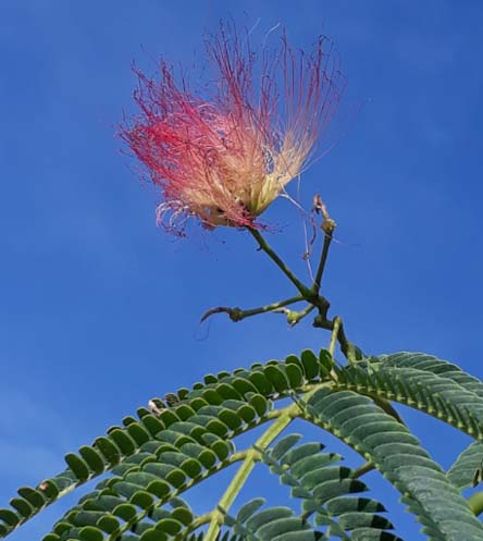 mimosa flower-B