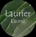 Laurier laurel