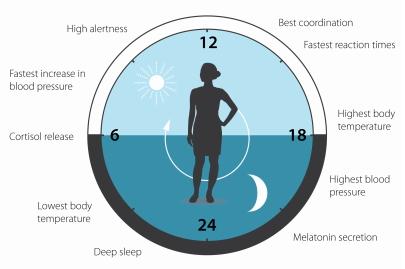 figuur 3 bioritme verklaard